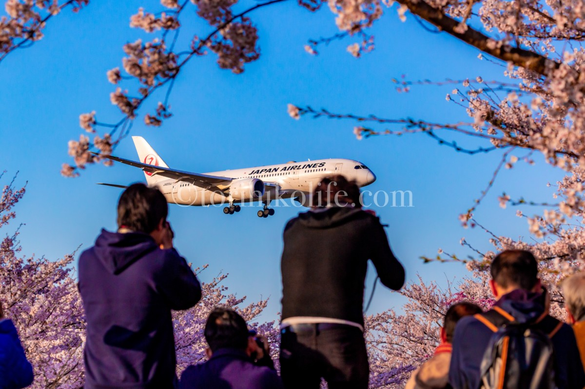 さくらの山公園に咲く桜の木の合間から飛行機を撮影するカメラマン達