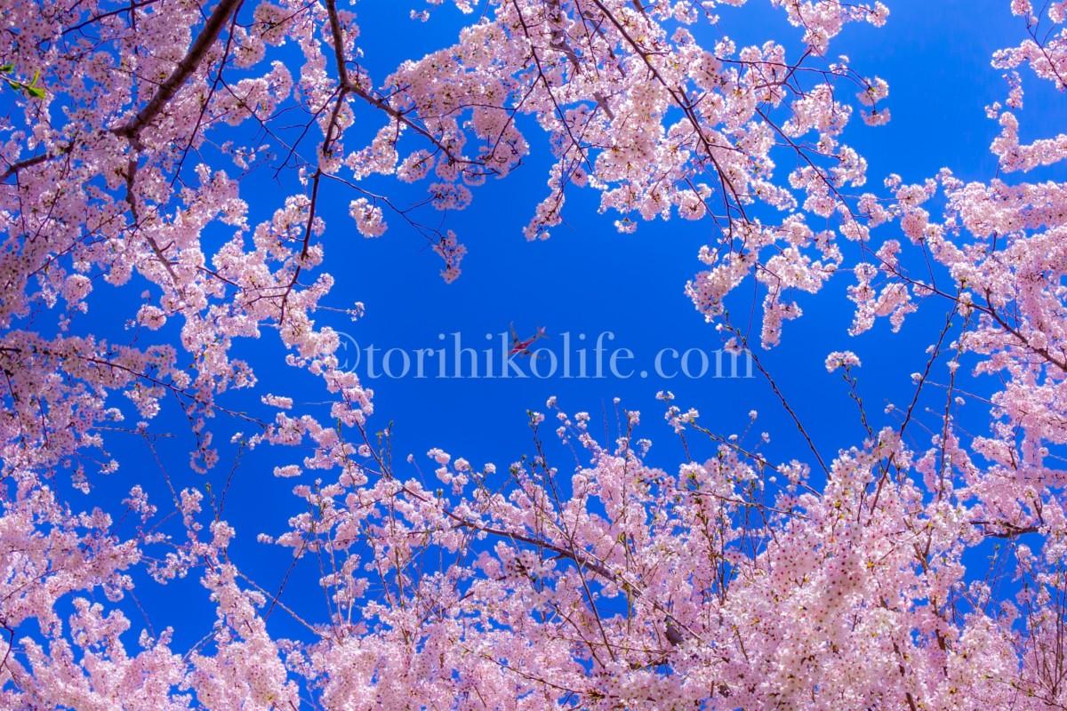 満開の桜の隙間から見える飛行機