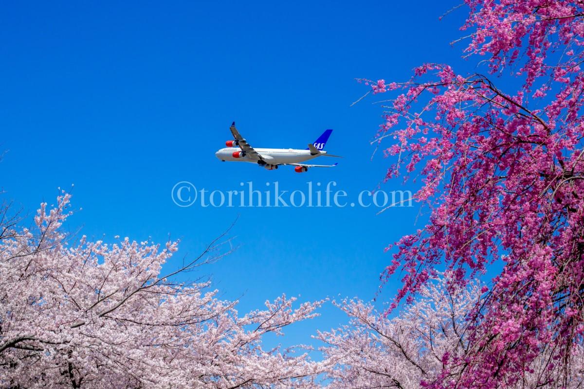 さくらの山に咲く満開の桜と飛び去る飛行機