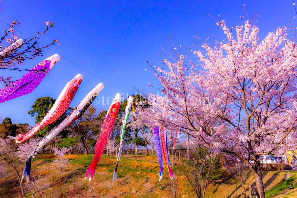 さくらの山の入り口にある桜の木とこいのぼり