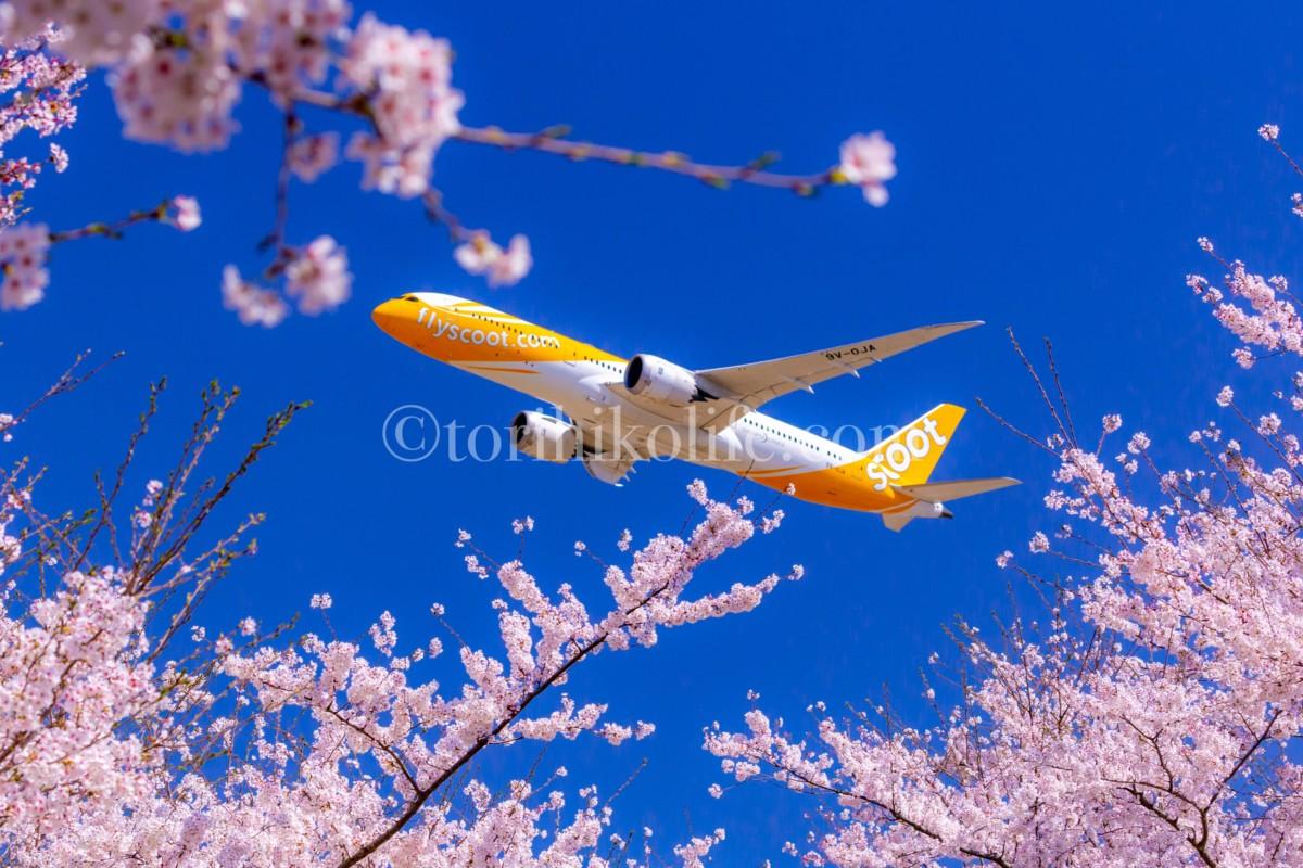 咲き誇る桜の合間から飛び出す飛行機