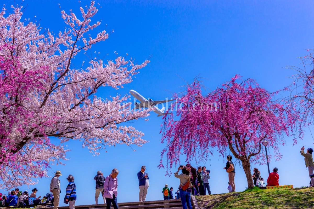 さくらの山から桜と飛行機を見上げる人達