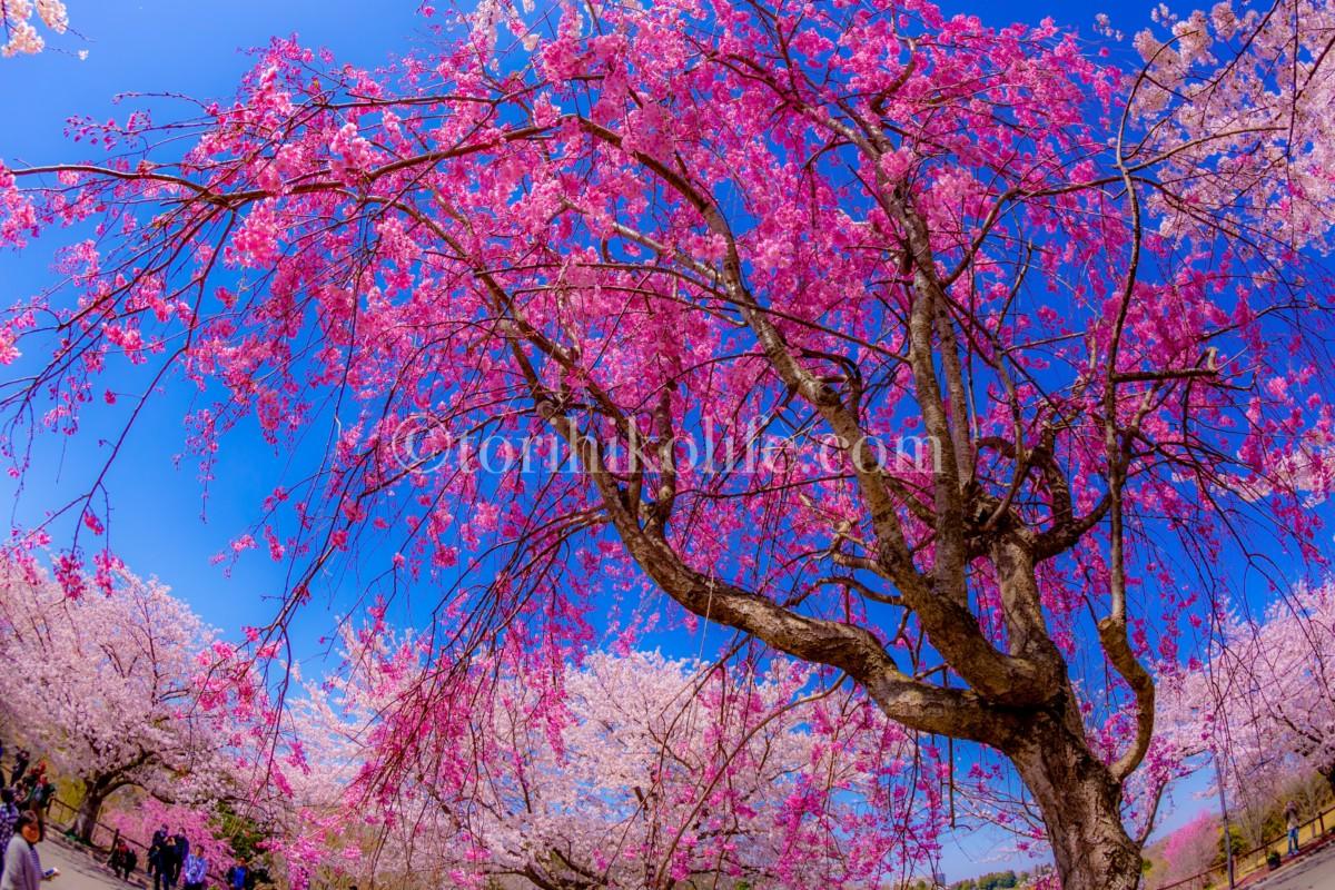成田さくらの山公園で満開に咲き誇る桜